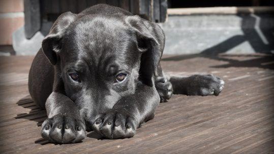 Cómo saber si tu perro tiene fiebre