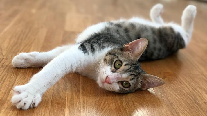 tratamiento oral tiña gatos