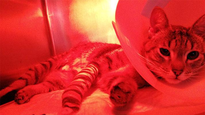 FLUTD caso de problemas urinarios en gatos, tratados en Innova veterinaria