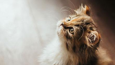 Catarro en gatos