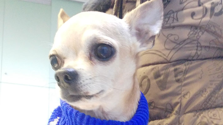 chequeos geriátricos para mascotas - Innova Veterinaria