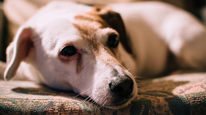 mascotas senior - Innova Veterinaria