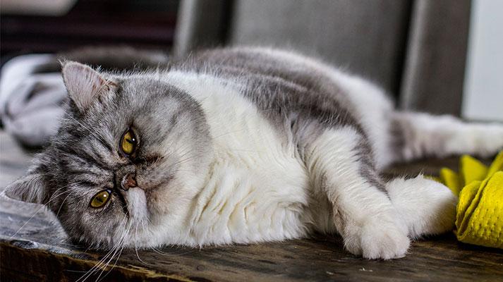 Caso de Hipertensión arterial sistémica en gatos en Innova veterinaria