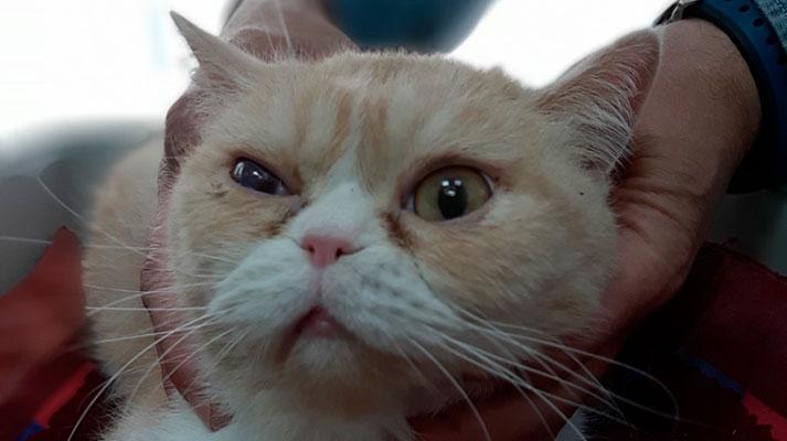 Gato con secuestro corneal